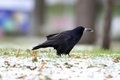 Crow foraging for food in the park black corvus frugilegus a winter day Stock Photos