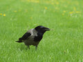 Crow on the grass Royalty Free Stock Photo