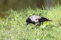 Crow in the green grass Royalty Free Stock Photo