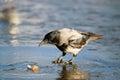 Crow ice winter wildlife gray Royalty Free Stock Photos