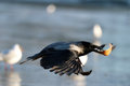 Crow ice winter wildlife gray Royalty Free Stock Image