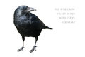 Crow isolated on white background Royalty Free Stock Photo