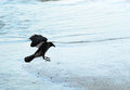 Crow a lands on a sandbank Royalty Free Stock Photo