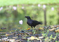 Crow a in nature near water Royalty Free Stock Photography