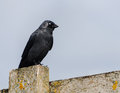 Crow perched on a fence wooden Royalty Free Stock Image