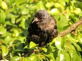 Crow sitting on a tree green leaves Stock Photo