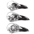 Crow skull traditional drawing set vector Royalty Free Stock Photo