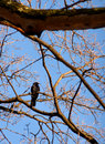 Crow in a tree Royalty Free Stock Images