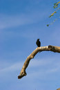 Crow on tree Royalty Free Stock Photography