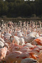 Crowd of flamingos Royalty Free Stock Images