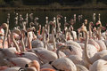 Crowd of flamingos Stock Image