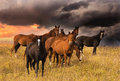 Crowd of horses Royalty Free Stock Photo