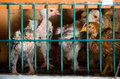 Crowded chicken battery chicks living in a Royalty Free Stock Photos