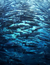 Crowded fish shoal Royalty Free Stock Image