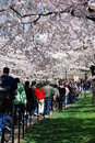 Crowds Enjoy National Cherry Blossom Festival 2008 Royalty Free Stock Images