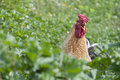 Crowing, happy free range rooster Royalty Free Stock Photography