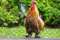 Crowing Rooster Stock Images