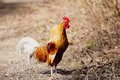 Crowing rooster on farm a Stock Photo