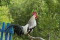 Crowing rooster free range silver leghorn singing Royalty Free Stock Image