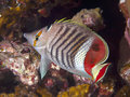 Crown butterflyfish Royalty Free Stock Photo