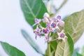 crown flower, giant Indian milkweed, gigantic, swallowwort Royalty Free Stock Photo