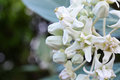 Crown Flower, Giant Indian Milkweed, Gigantic Swallowwort (Calotropis gigantea) Royalty Free Stock Photo