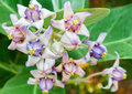 Crown flower purple color on tree Royalty Free Stock Photo