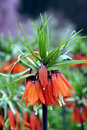Crown Imperial Royalty Free Stock Photography