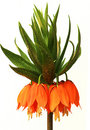 Crown Imperial Stock Photos