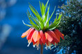 Crown imperial flower fritillaria imperialis orange early summer Stock Photo
