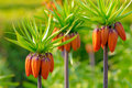 Crown imperial flowers fritillaria imperialis three orange early summer Stock Photo