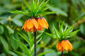 Crown imperial (fritillaria) Stock Image