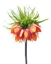 Crown imperial (Fritillaria imperialis) flower isolated on white Royalty Free Stock Photo