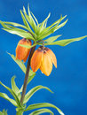 Crown imperial shot on blue background Royalty Free Stock Photos