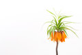 Crown imperial on a white background Royalty Free Stock Photo