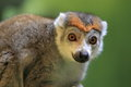 Crown lemur the detail of Stock Photography