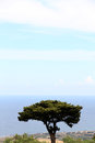 The crown of a maritime pine detail with coast on background near san vito lo capo trapani portrait cut Stock Photo