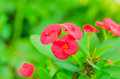 Crown of thorns christ thorn euphorbia milli desmoul red spring flower in the garden so beautiful Stock Photography