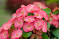 Crown of thorns flowers blooming in garden Stock Photography