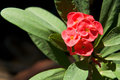 Crown of thorns flowers : Euphorbia milli Desmoul Royalty Free Stock Photography