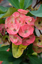 Crown of thorns flowers euphorbia milli desmoul Stock Images