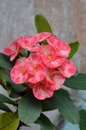 Crown of thorns flowers euphorbia milli desmoul Stock Photography