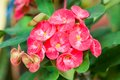 Crown of thorns flowers euphorbia milli desmoul Stock Photos
