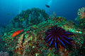 A crown of thorns seastar acanthaster planci feeds on live corals in the andaman sea Stock Images