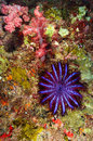 A crown of thorns seastar acanthaster planci feeds on live corals in the andaman sea Royalty Free Stock Photo