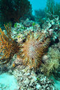 A crown of thorns seastar acanthaster planci feeds on living coral in layang layang malaysia Stock Photography