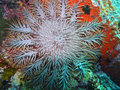Crown-of-thorns starfish Royalty Free Stock Photos