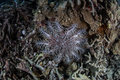 Crown-of-Thorns Starfish Royalty Free Stock Photo
