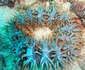 Crown of Thorns Starfish Blur Royalty Free Stock Photo
