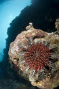 Crown-of-thorns starfish, damaging to coral reef Stock Photo